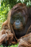 De Orangoetan van Bornean Stock Afbeelding