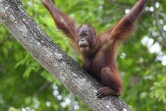 De Orangoetan van Borneo Royalty-vrije Stock Afbeeldingen