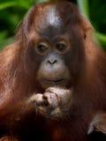 De orangoetan van Borneo Stock Afbeeldingen