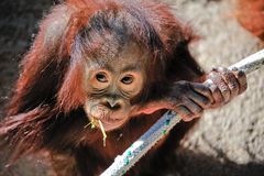 De Orangoetan van de baby royalty-vrije stock fotografie