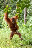 De orangoetan van de moeder en van de baby Royalty-vrije Stock Fotografie