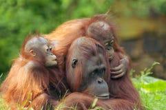 De orangoetan van de moeder met haar babi Stock Foto's