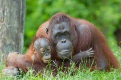 De orangoetan van de moeder met haar baby Royalty-vrije Stock Foto