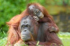 De orangoetan van de moeder met haar baby royalty-vrije stock foto's