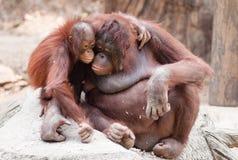 De orangoetans van de moeder en van de baby Stock Foto's