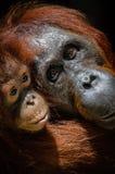 De orangoetan van de zuigeling met moeder royalty-vrije stock fotografie