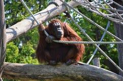 De Orangoetan van dierentuinschã¶nbrunn Wien Royalty-vrije Stock Foto