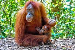 De Orangoetan van moedersumatran met haar baby Stock Afbeelding