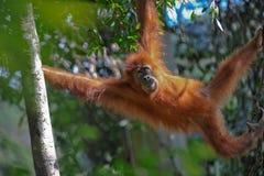 De orangoetan van Sumatran Royalty-vrije Stock Afbeeldingen