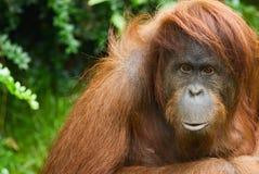 De Orangoetan van Sumatran Stock Afbeeldingen