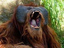De orangoetan van Sumatran Royalty-vrije Stock Foto