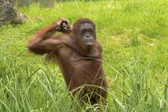 De orangoetan voelt vermoeid stock foto's