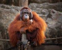 De orangoetan zit royalty-vrije stock foto