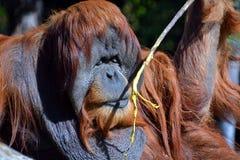 De orangoetans Stock Afbeelding