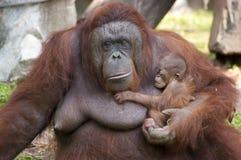 De orangoetanzuigeling klampt zich aan de moeder vast Royalty-vrije Stock Afbeeldingen