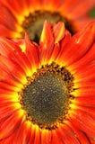 De oranje Achtergrond van de Bloem van de Zon Stock Foto's