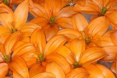 De oranje Aziatische Lelie van Cocotte Stock Foto's