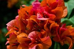 De oranje bloem van Bougainvillea Royalty-vrije Stock Fotografie