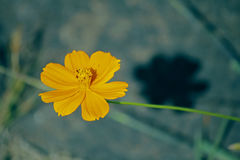 De oranje Bloem van de Kosmos Royalty-vrije Stock Afbeeldingen