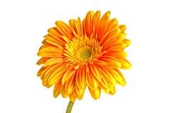 De oranje bloem van het gerberamadeliefje die op witte achtergrond wordt geïsoleerdr exemplaar Stock Fotografie