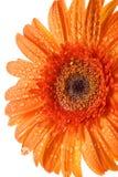 De oranje bloem van het gerbermadeliefje op wit Royalty-vrije Stock Afbeeldingen