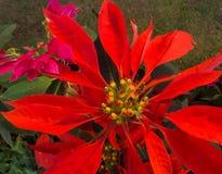 De oranje bloem van kleurenbladeren Stock Foto's