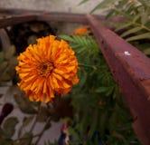 De oranje bloem van Zinnia royalty-vrije stock afbeelding