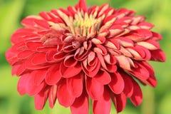 De oranje bloem van Zinnia Stock Fotografie