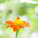 De oranje bloem van Zinnia Royalty-vrije Stock Afbeeldingen