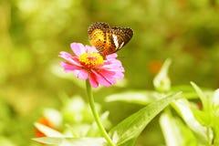 De oranje bloem van Zinnia Royalty-vrije Stock Foto's