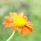 De oranje bloem van Zinnia Royalty-vrije Stock Fotografie