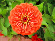 De oranje bloem van Zinnia stock foto's