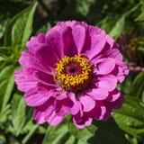 De oranje bloem van Zinnia Stock Foto
