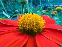 De oranje bloem van Zinnia Royalty-vrije Stock Foto