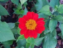 De oranje bloem van Zinnia Stock Afbeelding