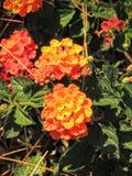 De oranje Bloemen sluiten omhoog in Arizona, tagetes is een soort van jaarlijkse of eeuwigdurende, meestal kruidachtige installat Royalty-vrije Stock Foto