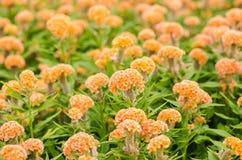 De oranje bloemen van Celosia of van de Wol of Hanekambloem Royalty-vrije Stock Foto's