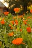 De oranje bloemen van de Calendulagoudsbloem Royalty-vrije Stock Afbeeldingen