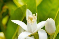 De oranje bloesem van de bloem in de lente in het bestuiven Stock Fotografie