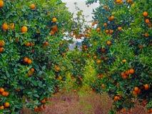 De oranje bomen tuinieren hoogtepunt van sinaasappelen Royalty-vrije Stock Foto