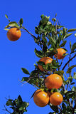 De oranje boom Royalty-vrije Stock Foto