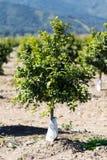 De oranje Boomgaard van de Fruitboom Stock Afbeeldingen