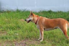 De oranje bruine kleur van hond, eyeless één en naait dicht status op het groene gazon stock foto's