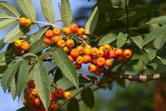 De oranje cluster van de pyracanthabes Royalty-vrije Stock Fotografie