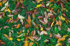 De oranje en gele bladeren van de kersenboom op groen gras Stock Fotografie