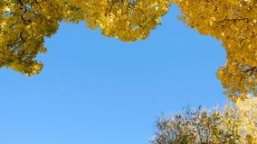 De oranje en gele daling van esdoornbladeren neer tegen de blauwe hemel stock videobeelden