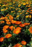 De oranje en Gele Weide van de Bloem Stock Afbeeldingen