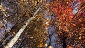 De oranje en groene daling van de herfstbladeren van bomen stock footage