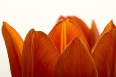 De oranje en rode close-up van tulpenbloemen Royalty-vrije Stock Foto's