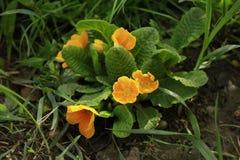 De Oranje Geneeskrachtige Hoge Bloemen - kwaliteit stock foto's